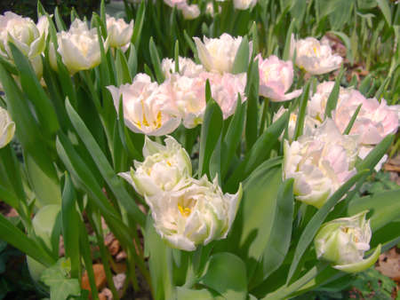 White and pink double tulips in a flowerbed. Stock Photo - 9373338