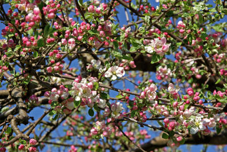 crab apple tree: Blossoming Siberian crab apple tree in spring.