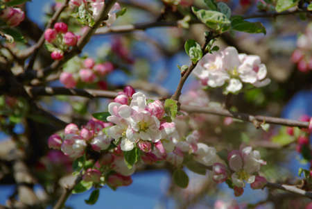 Blossoming Siberian crab apple tree in spring. photo