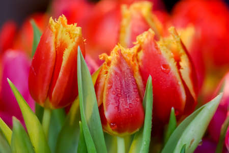 Bunch of red and yellow fringed tulips with focus on foreground. Stock Photo - 9404610