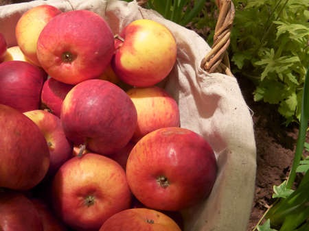 Red apples in basket in the vegetable garden. photo
