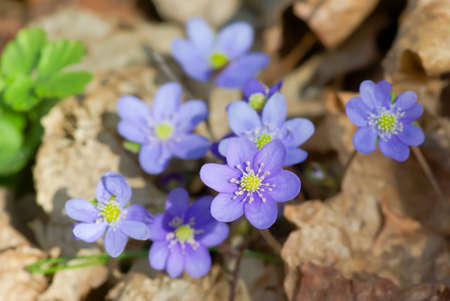 Blue anemone in spring against faded brown maple leaves. photo