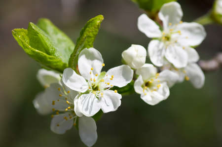 Twig of blossoming plum tree in spring. photo
