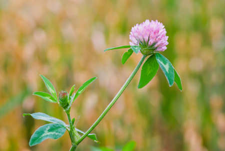 Red clover flower in front of a blurry cornfield. photo