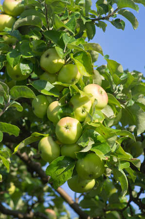 ripen: Apple tree with branches of ripen fruits.