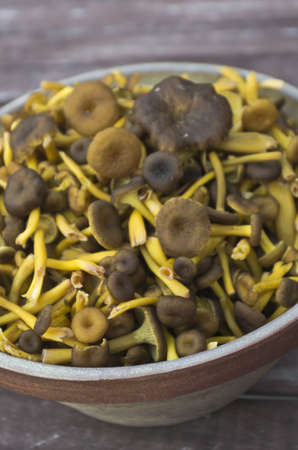 Fresh picked funnel chanterelles in bowl. photo
