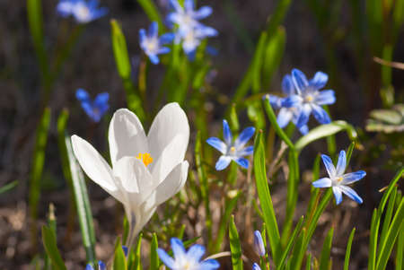 Blooming white crocus and scilla in flowerbed in spring. photo