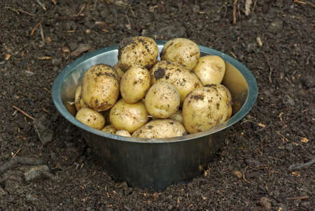 Harvested new potatoes in the vegetable garden  photo