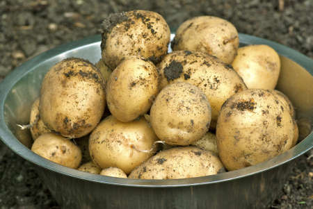 spud: Harvested new potatoes in the vegetable garden