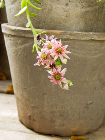 Flower pot in clay with flowering stonecrop plant Stock Photo - 13721490