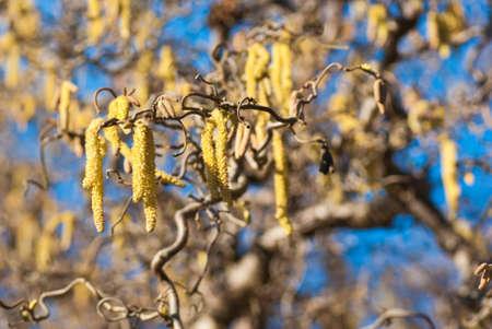 albero nocciola: Ramoscello di Nocciolo con amenti in primavera.