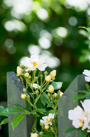 White climbing rose grows at a wooden fence. photo