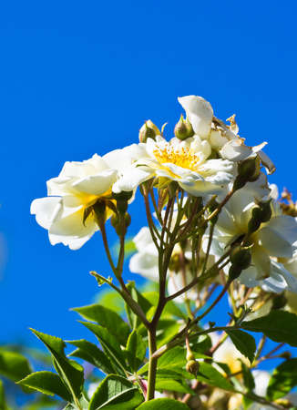 Branch of white climbing rose  against blue sky. photo