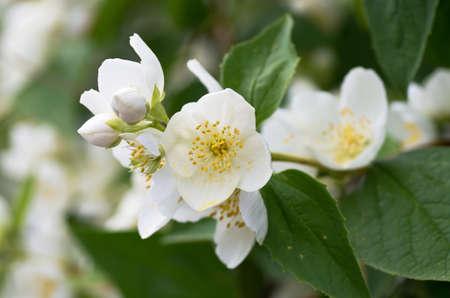 philadelphus coronarius: Twig with white flowers of the Mock-orange bush, Philadelphus coronarius. Stock Photo
