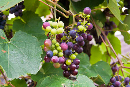 bunches: Bunches of grapes at a vineyard.