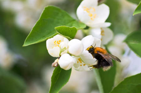 philadelphus: Mock orange bush with flowers and a bumble bee. Stock Photo
