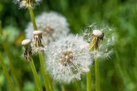 flowerhead: Heads of seeds of dandelion flower against green background in summer