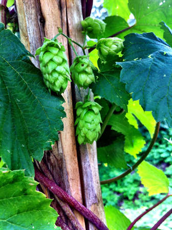 common hop: Climbing green common hop in summer
