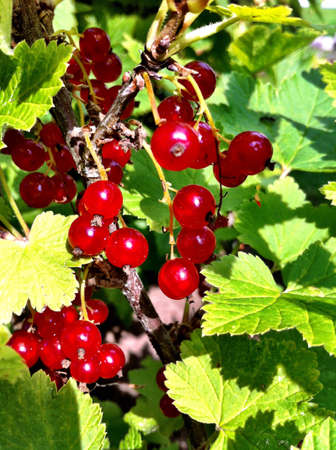 ripen: Red currant bush with ripen berries. Stock Photo