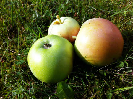 windfalls: Three apples laying in the grass