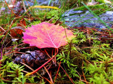 aspen leaf: Red aspen leaf in forest moss in fall. Stock Photo