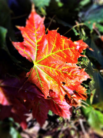 red maple leaf: Red maple leaf in fall. Stock Photo