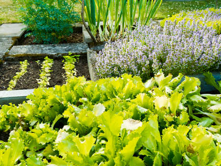 Lettuce, herb plants and onions in vegetable garden in summer  photo