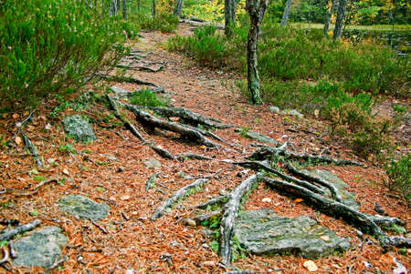 Foot path with pine tree roots in forest in fall  photo