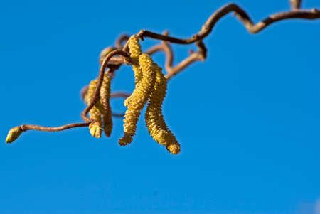 hazel tree: Hazel tree with catkins against blue sky in spring