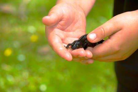 animal body part: Child holding a small black salamander in his hands  Stock Photo