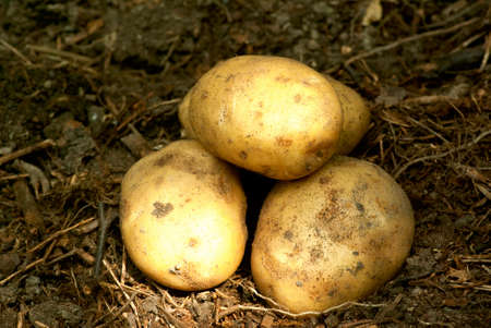 Gathered new potatoes in vegetable garden  photo