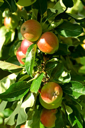 fruit tree: Fruit tree branch with ripe red apples