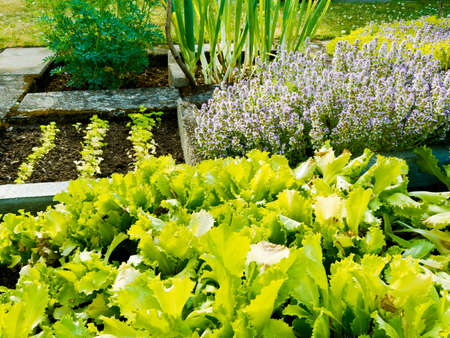 Lettuce and other plants in vegetable garden photo