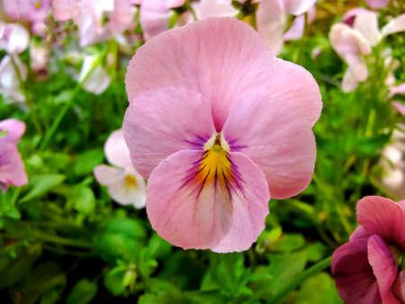 massif de fleurs: Floraison pens�e rose en parterre au printemps Banque d'images