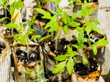 greening: Greening tomato seeds in planting pots in spring  Stock Photo