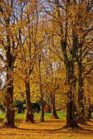foot path: Avenue of lime trees with foot path in fall.