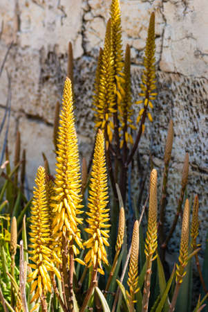 flowering aloe: Flower bed with aloe plants and its yellow flowers.