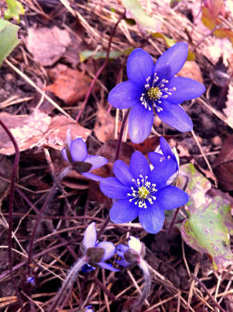 liverwort: Blue anemone flowers blooming in forest in spring