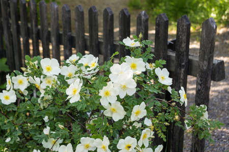 Rose bush with white flowers in bloom in a garden in front of a wooden fence in early summer in Sweden.
