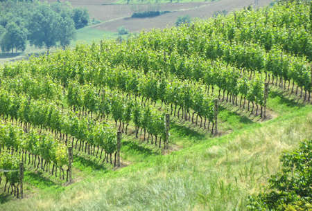 vineyard view from the hill
