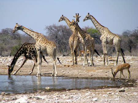 Namibia Giraffes Drinking Standard-Bild