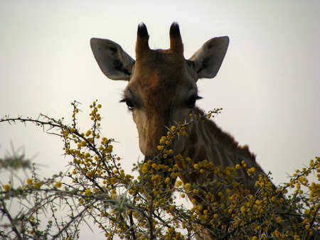Namibia zoom giraffes face Standard-Bild