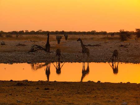 Namibia Giraffe sunset mirror