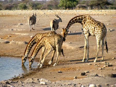 namibia: Namibia Giraffes Drinking Stock Photo