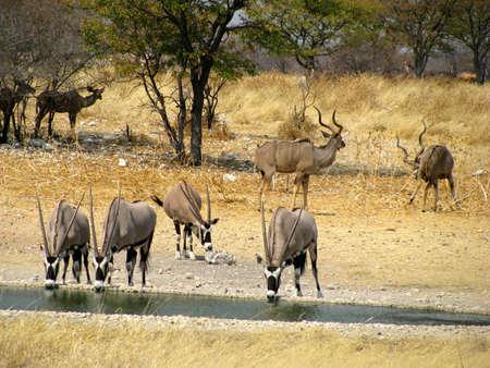 namibia: Namibia National Park Oryx