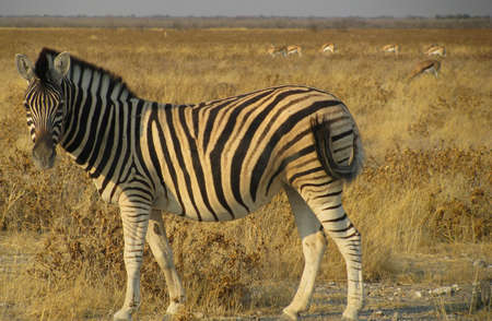 Namibia Zebras looking at you Standard-Bild