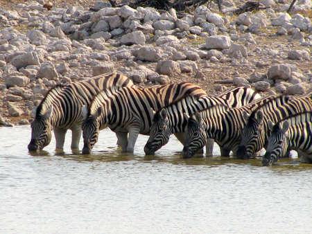 Six Namibia Zebras drinking at waterhole Standard-Bild