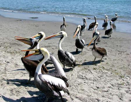 Peru pelicans on the beach