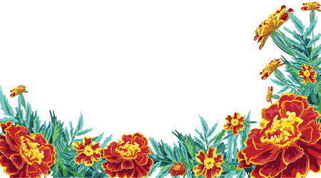asymmetrical frame of flowers of Marigolds painted realistically drawn in vector Illustration