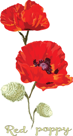 Bouquet of scarlet poppies in vector with the inscription red poppy, vector isolated
